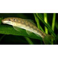 Рыбка Гиринохейлус