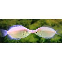 Рыбка Гурами целующийся