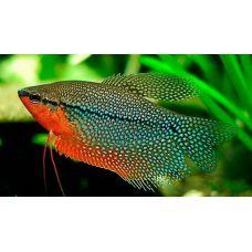 Рыбка Гурами жемчужный
