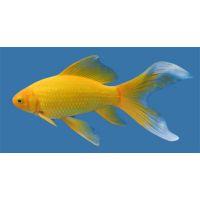 Рыбка Золотая Комета желтая