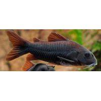 Рыбка Коридорас венесуэла блэк