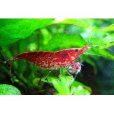 Креветка вишневая Cherry shrimp