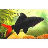 Рыбка Лабео биколор