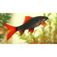 Рыбка Лабео фринатус зеленый