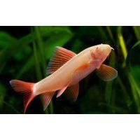 Рыбка Лабео фринатус альбинос