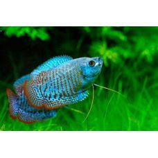 Рыбка Лялиус кобальтовый