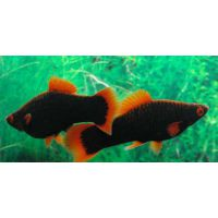 Рыбка Меченосец черный