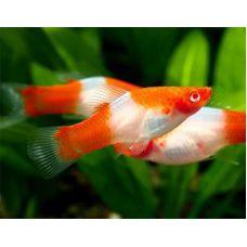Рыбка Меченосец санта клаус