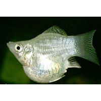 Рыбка Моллинезия снежинка баллон