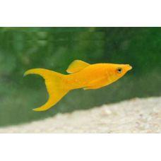 Рыбка Моллинезия желтая