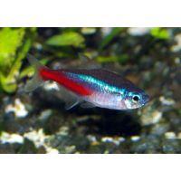 Рыбка Неон синий