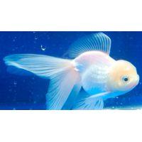 Рыбка Золотая Оранда белая КРУПНАЯ (Импорт)