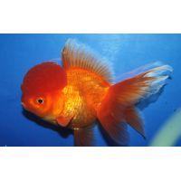 Рыбка Золотаям Оранда красная (Импорт)