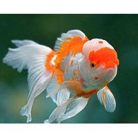 Рыбка Золотая Оранда красно-белая КРУПНАЯ (Импорт) Киев