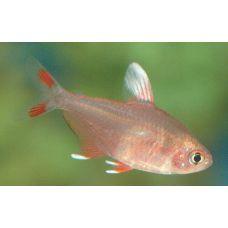 Рыбка Орантус белоплавничковый