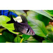 Рыбка Орантус черный