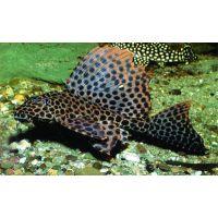 Рыбка Парчевый Птеригоплихт