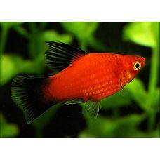 Рыбка Пецилия красная