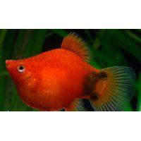 Рыбка Пецилия красная дисковая