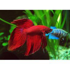 Рыбка Петушок вуалевый взрослый