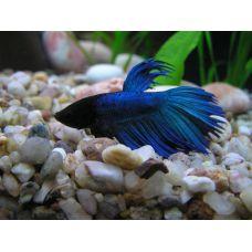 Рыбка Петушок вуалевый (красный, синий, зеленый) КРУПНЫЙ