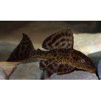 Рыбка Плекостомус (Импорт)