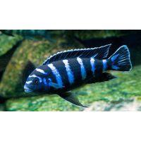 Рыбка Псевдотрофеус демасони