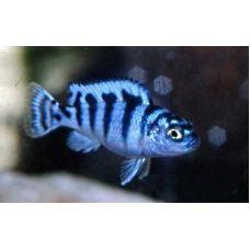Рыбка Псевдотрофеус ломбардо