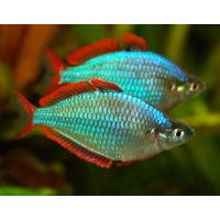 Рыбка Радужница неоновая
