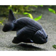 Рыбка Ранчу средняя 3-4см