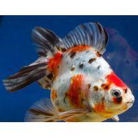 Рыбка Золотая Риукин ситцевый (Импорт)