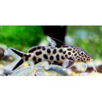 Рыбка Синодонтис пятнистый 10-12см Киев