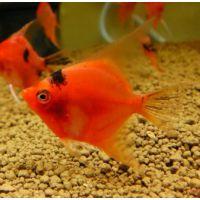 Рыбка Скалярия красный дьявол