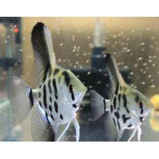 Рыбка Скалярия леопардовая средняя