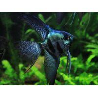 Рыбка Скалярия пиной