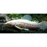 Рыбка Таракатум альбинос