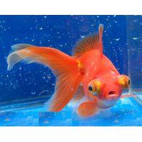 Рыбка Золотая Телескоп ситцевый