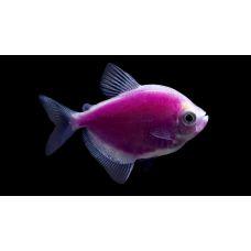Рыбка Тернеция фиолетовая Glo Fish