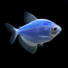 Рыбка Тернеция (синяя, зеленая, желтая, розовая) Glo Fish