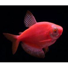 Рыбка Тернеция (красная) Glo Fish