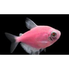 Рыбка Тернеция розовая Glo Fish