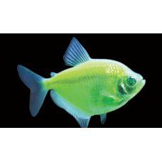 Рыбка Тернеция (зеленая) Glo Fish
