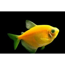 Рыбка Тернеция желтая Glo Fish