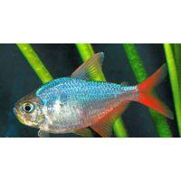 Рыбка Тетра колумбийская