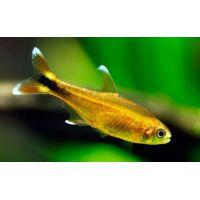 Рыбка Тетра медная (Хасемания)