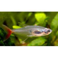 Рыбка Тетра Стеклянная взрослая