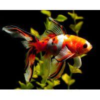 Рыбка Золотая Шубукин