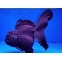Рыбка Золотая Оранда черная КРУПНАЯ (Импорт)
